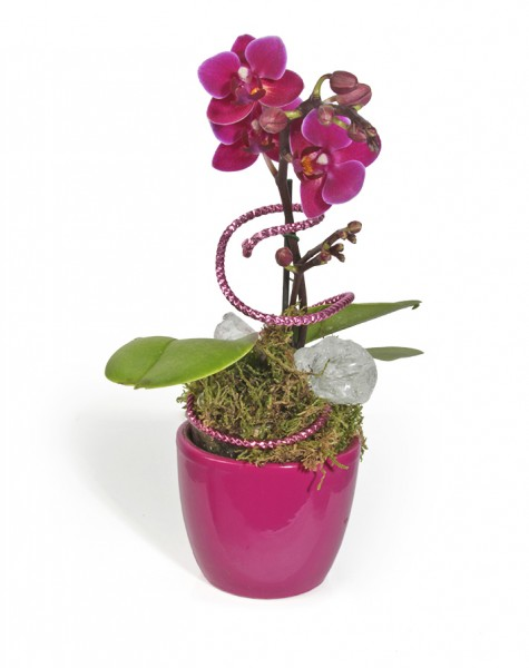 Mini-Orchidee im Übertopf