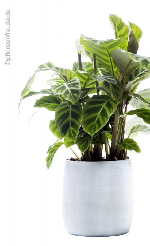 Zimmerpflanzen   Blumen Risse
