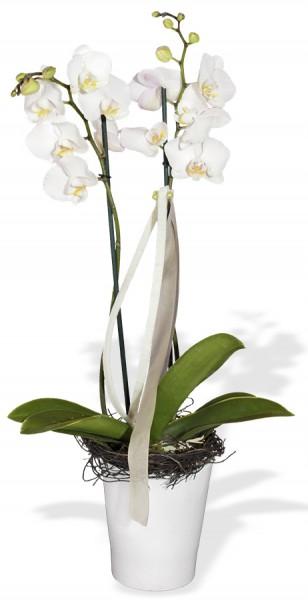 Orchidee im Orchideen-Spezialtopf