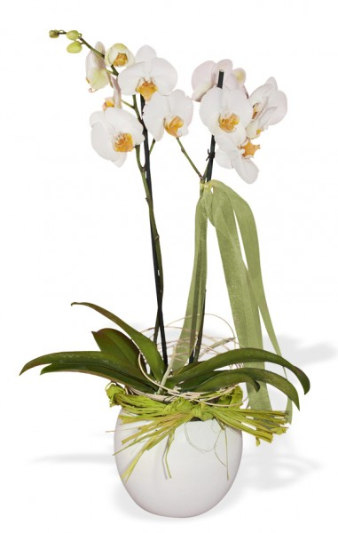 Orchidee im Kugelübertopf