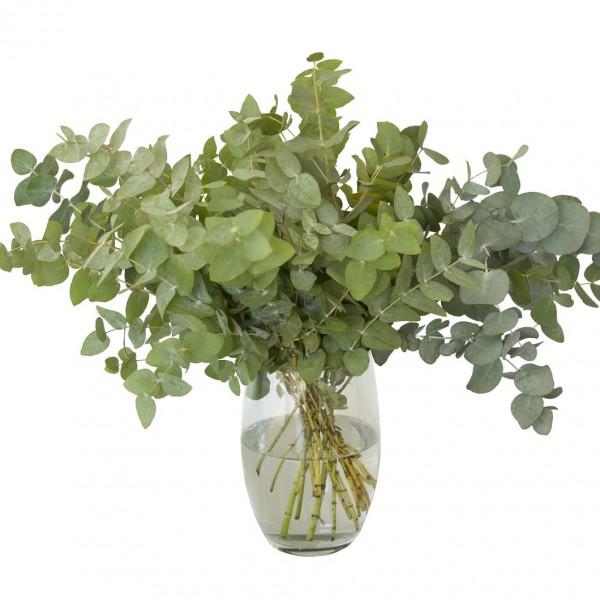 Eukalyptus, 3 Bunde